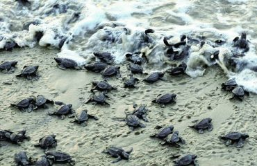 olive ridley turtles at Rushikulya