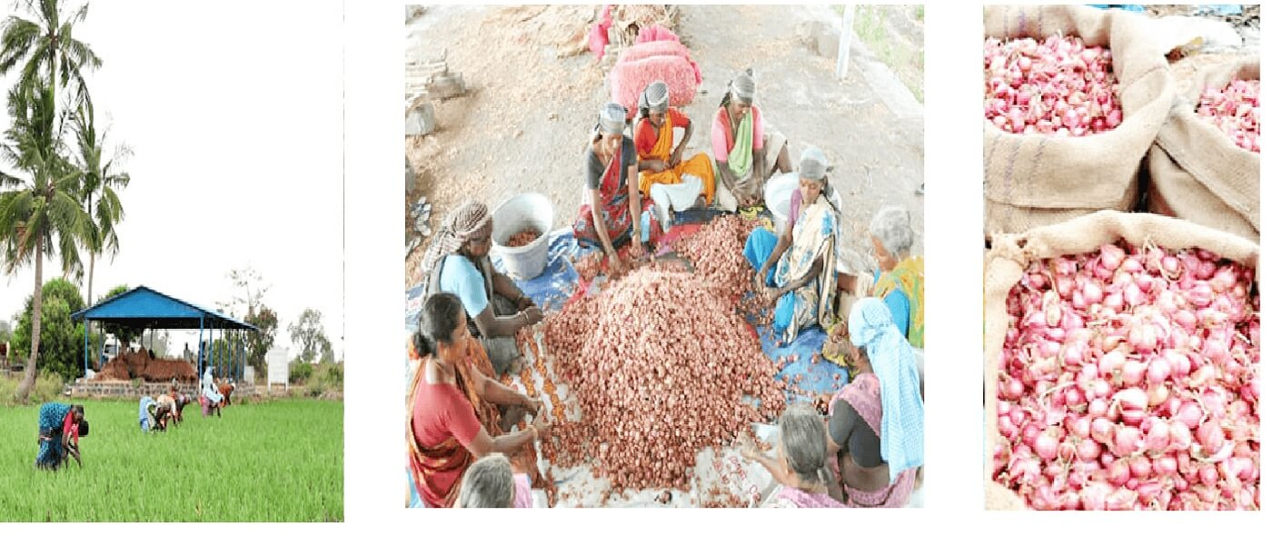 ONION CULTIVATION