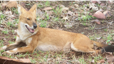 Fox in Chaprala Jungle