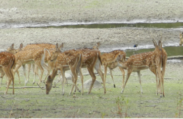 Deers in Chaprala Jungle
