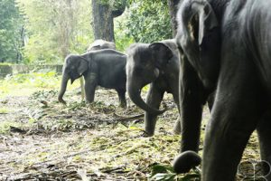 Elephants in Kodanad