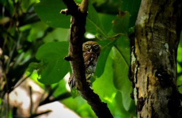 A SMALL OWL,THATTEKAD BIRD SANCTUARY