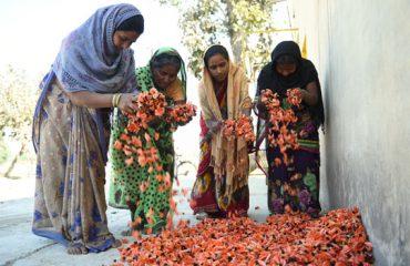 पलाश के फूलो का संग्रहण