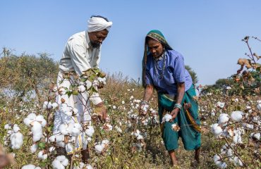 Cotton in Barwani
