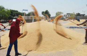 Sharbati Wheat Cleaning