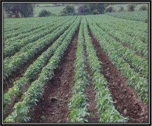 Broad Bed Furrow for Soyabean