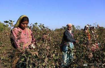 Cotton picking is time consuming and manual work