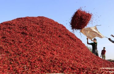Chili being spread for drying