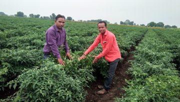 मिर्च की हाई-टेक खेती श्री रामसिंह