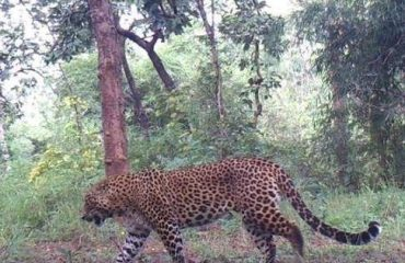 Tiger of sanjay tiger reserve dubari