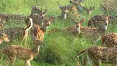संजय टाईगर रिजर्व के हिरण