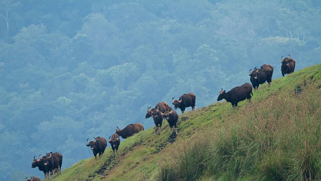 Periyar Wildlife sanctuary Thekkady Bison
