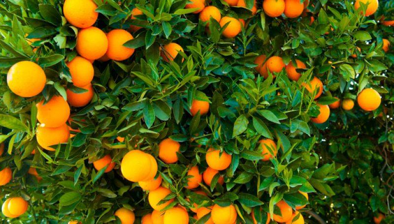 संतरे का गुच्छा