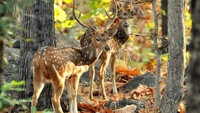 Deers in Pench