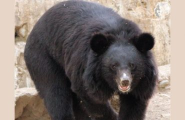 Bear at Renuka Ji Zoo