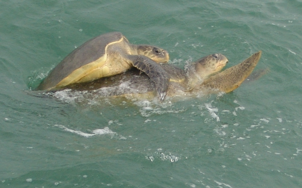 Olive Ridley at Gahirmatha Sea