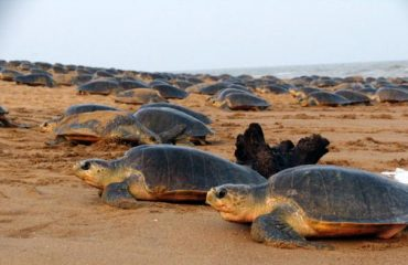Arrival of Olive Ridley at Gahirmatha