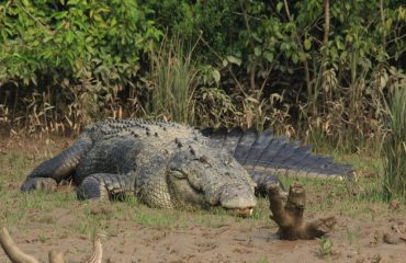 Crocodile at BhitarKanika