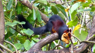 Giant Malabar Squirrel