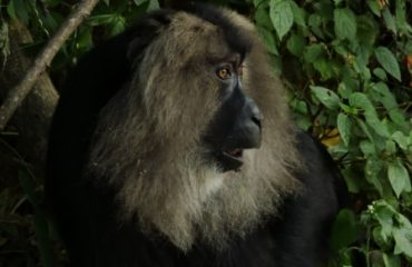 LionTailed Macaque