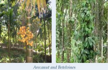 arecanut and betelvines