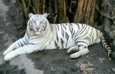 मैत्री बाग भिलाई का सफेद बाघ