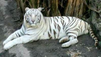 White Tiger in Maitri Bagh Bhilai