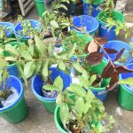 Plants ready for Distribution