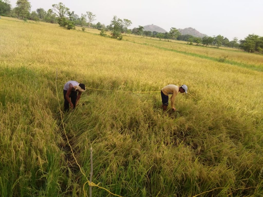 Paddy Cropcutting estimate