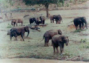 Herd of elephants grazing