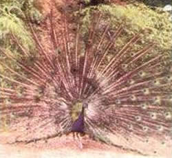 peacock showing all its feather