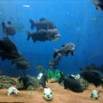 Fishes at Jagdish Chandra Bose Aquarium Surat alt
