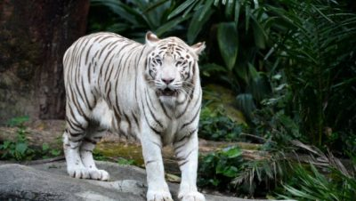 White_Tiger Of Rewa