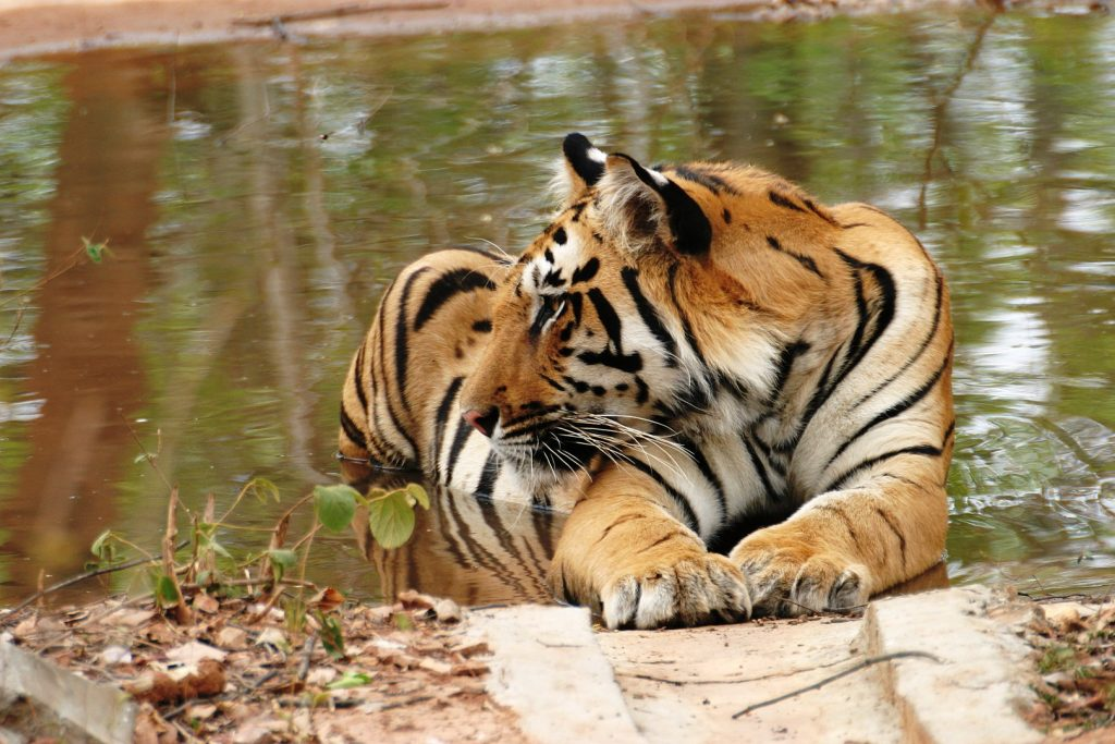 Pench National Park tiger