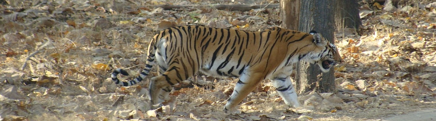 The Tiger Walking