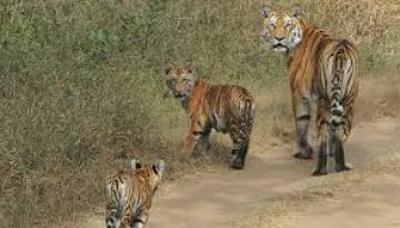 Pench National Park Tigres