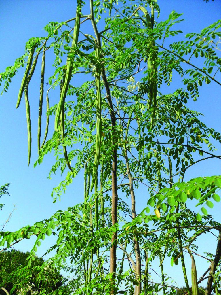 सहजन का वृक्ष