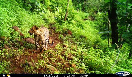 Image of Leopard in Dnyanganga Sanctuary Buldhana