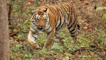 Umred Kahrandla Abhayarannya-tiger
