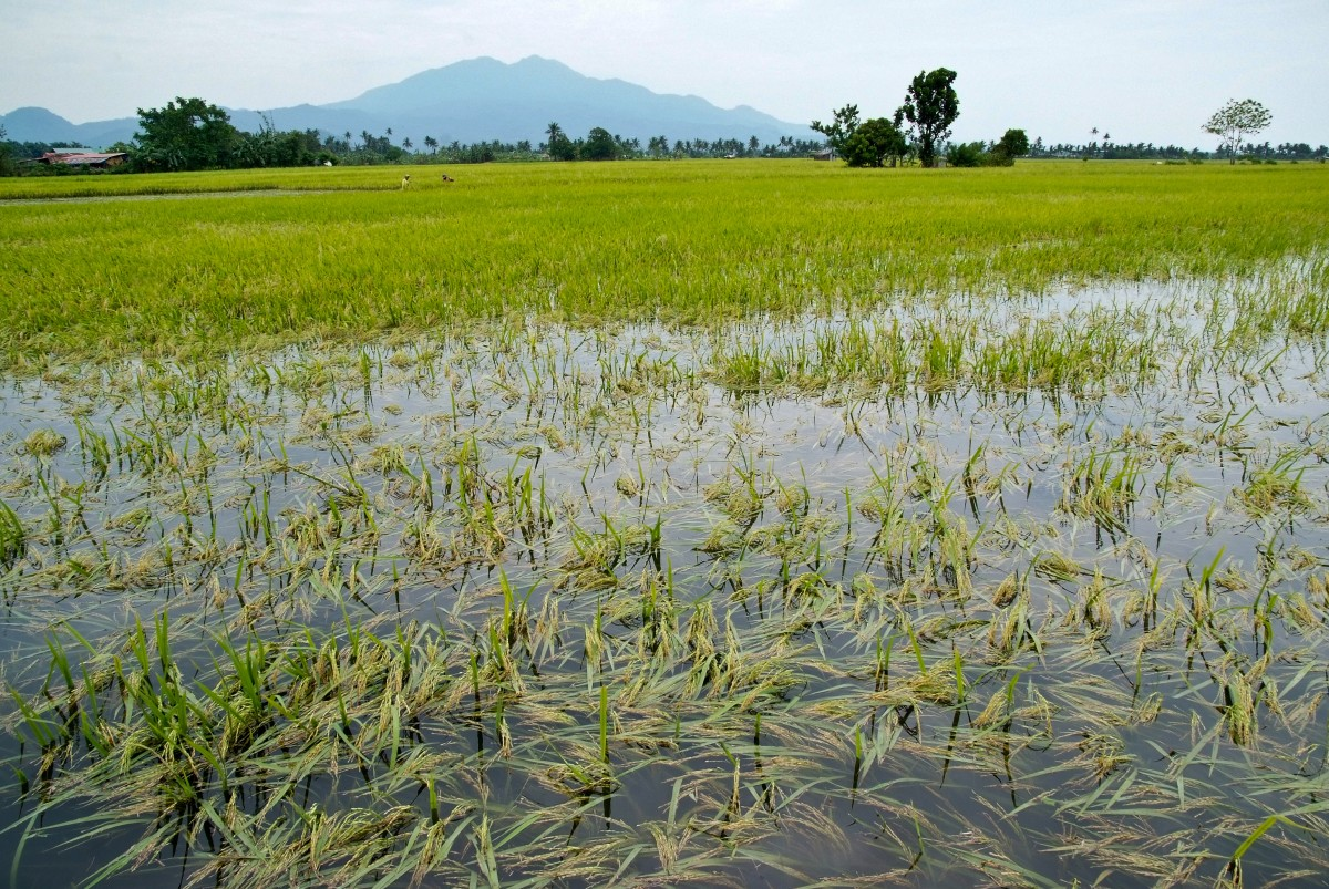 damaged paddy rainfall