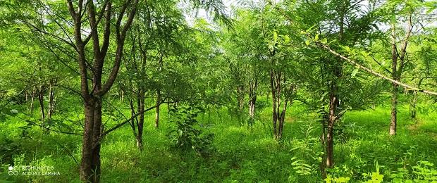 Plantation at Osalvira, Dahanu