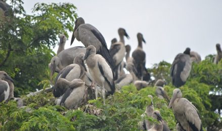 Migrating birds at Kendua