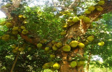 Kolli Hills Jack Fruit Image