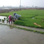 Rice/Paddy Production