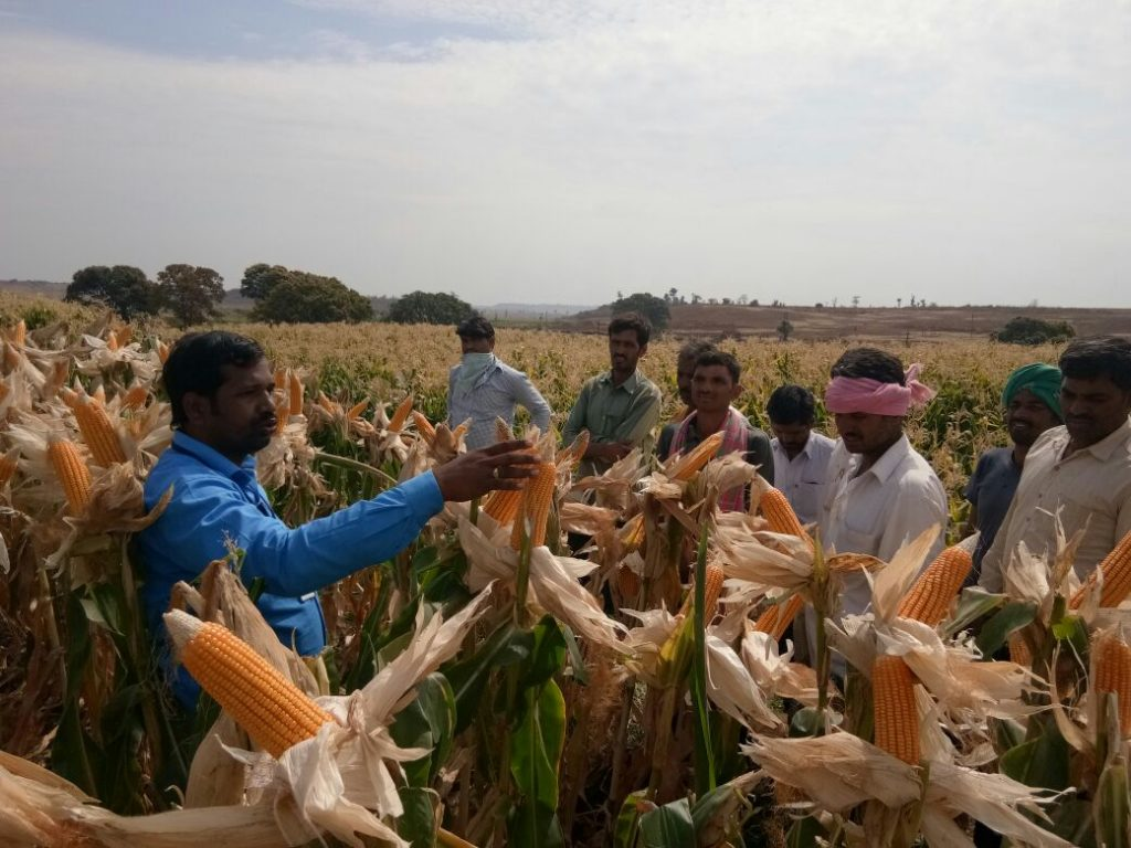 Maize Production at Kamareddy