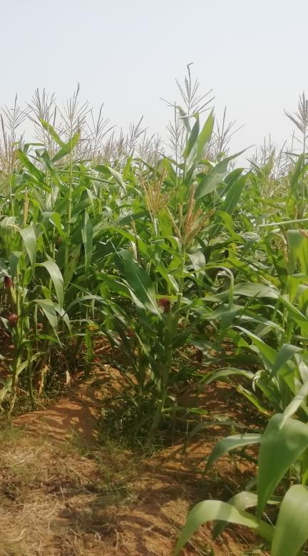 Maize Production at Kamareddy District