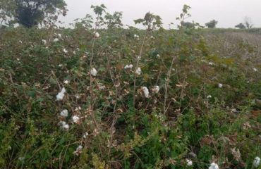Cotton Production at Kamareddy