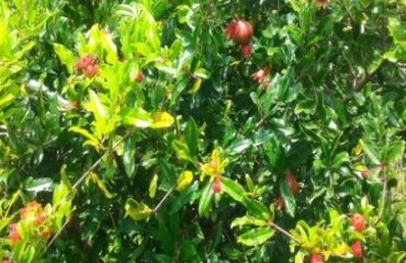 SUCCESS STORIES UNDER MIDH Name of the component Pomegranate