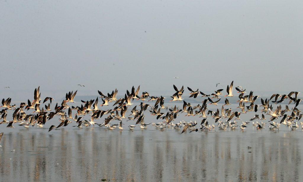 प्रवासी पक्षियों द्वारा गंगा तट पर विचरण