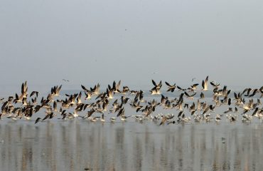 The Migrating Birds visiting the Banks of River Ganga